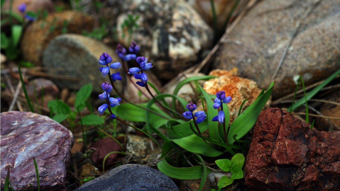 blue flowers and rocks wallpaper for Desktop