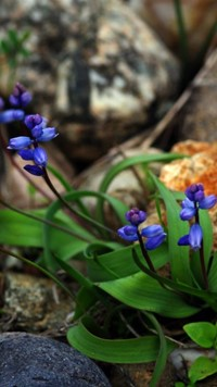 blue flowers and rocks wallpaper