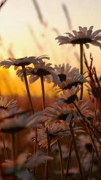 daisies at sunset wallpaper