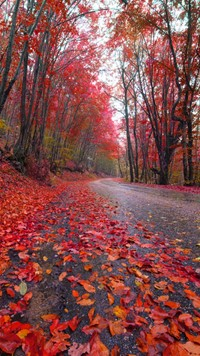 Forest road red tree leafs beautiful wallpaper