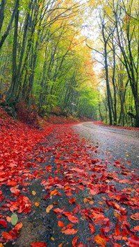 Forest road red tree leafs with green tree beautiful colorful wallpaper