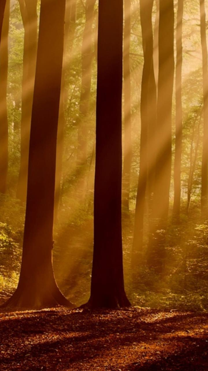long forest tree with sun light wallpaper for Mobile Phones