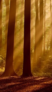 long forest tree with sun light wallpaper