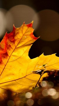yellow maple leaf rain dew wallpaper