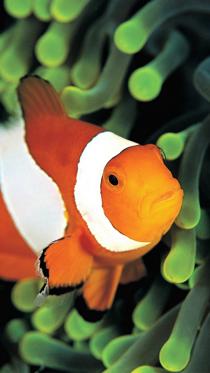 Amarican ocean orange and white fish wallpaer under water for Mobile Phones