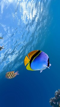 Blue Black Yellow fish under water Pacific Ocean Wallpaper