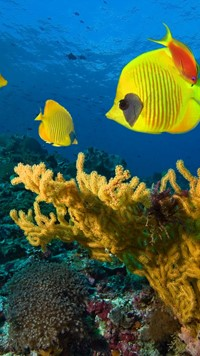 Yellow Fish under water wallpaper