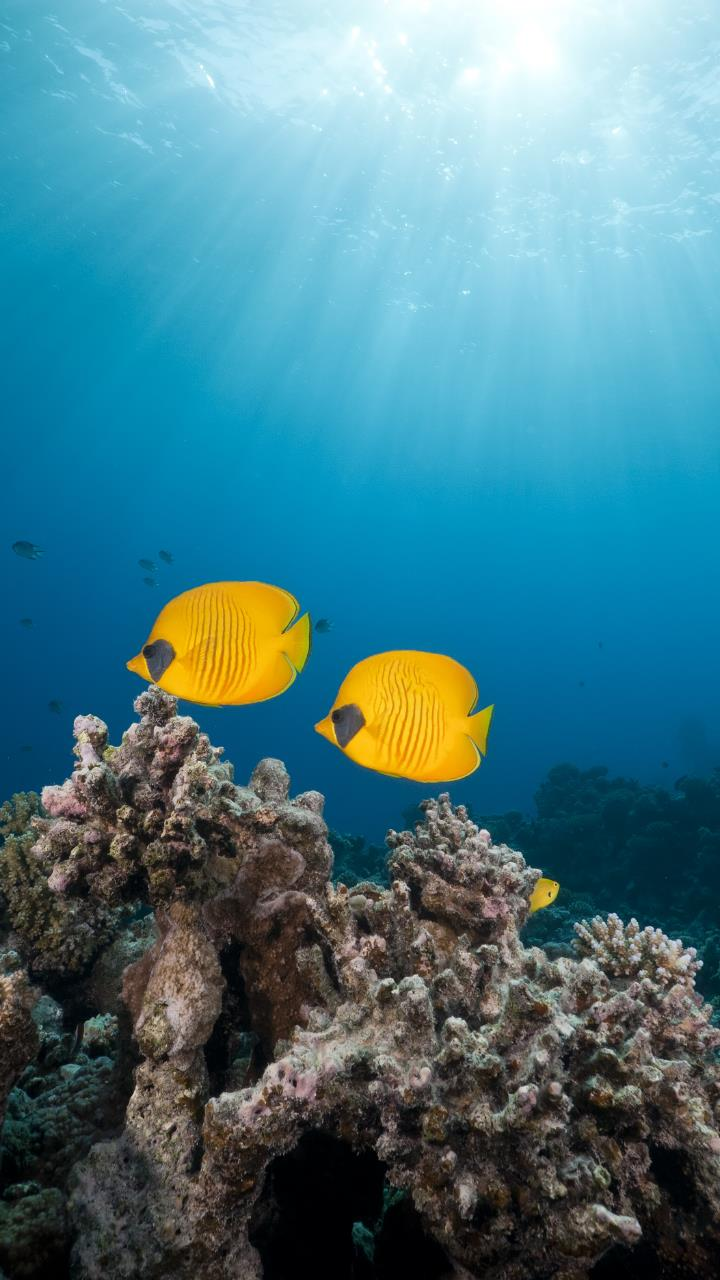 Yellow two fish under deep American Sea Wallpaper for Mobile Phones