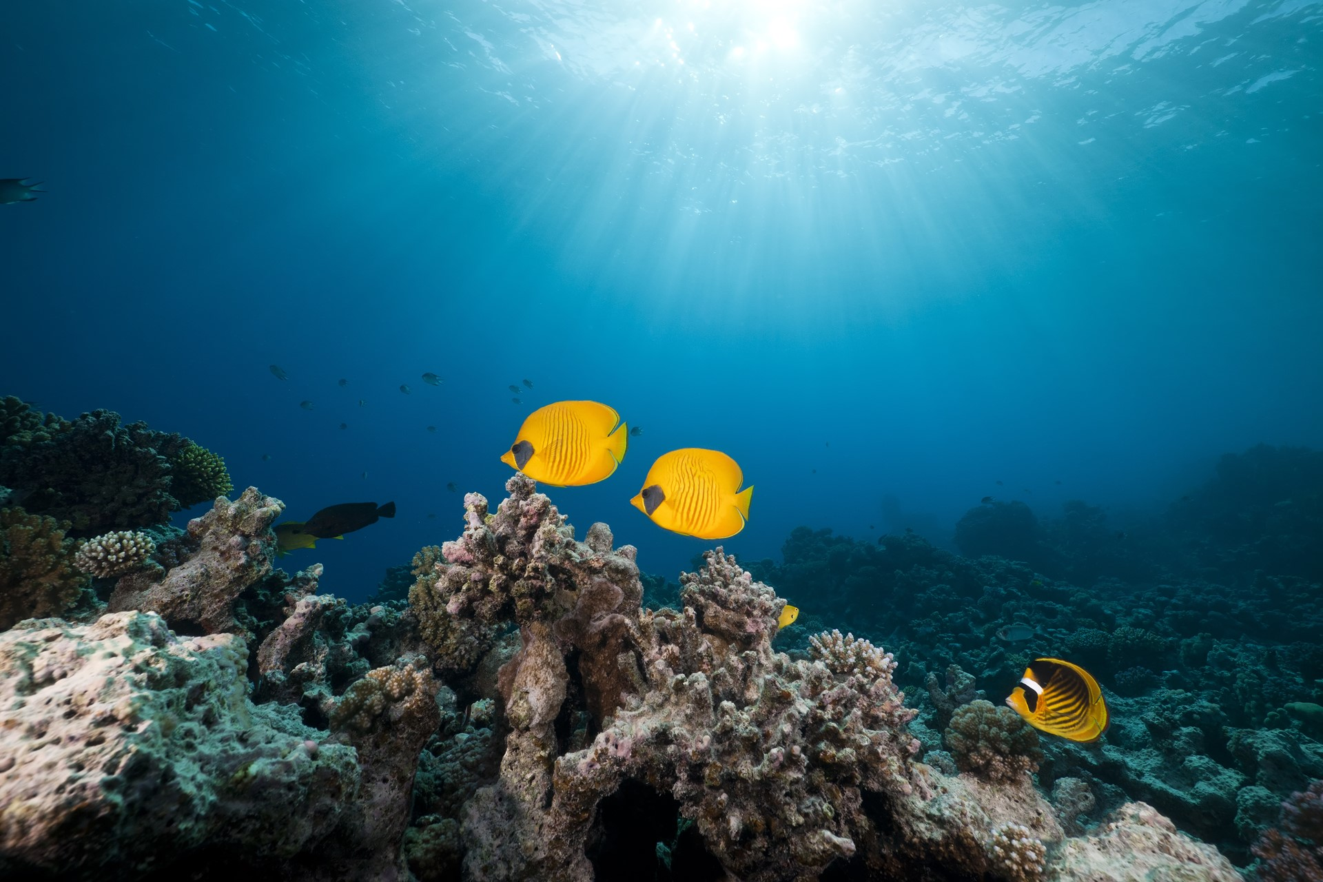 Yellow two fish under deep American Sea Wallpaper for Desktop